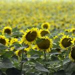 Auringonkukkapelto Bulgaria copyright Elina Sumén